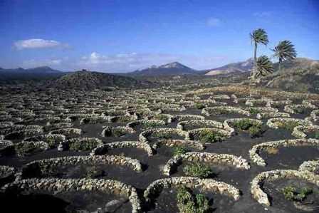 Cultivos de la vid en La Geria (Lanzarote).