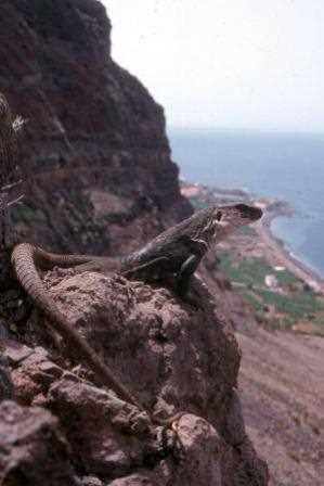 Otro lagarto de la Gomera.
