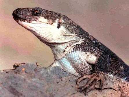 Otro lagarto gigante de la Gomera.