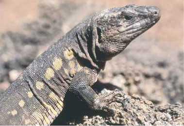 Otro lagarto de El Hierro.