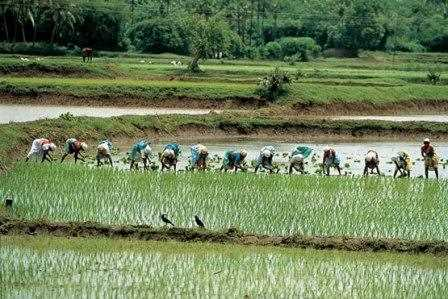 Plantacion de arroz en China.