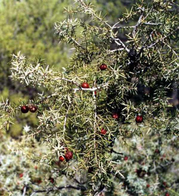 Son frecuentes las manchas de enebros y otros endemismos en estas sierras, de forma que aumentan y consolidan su valor natural.