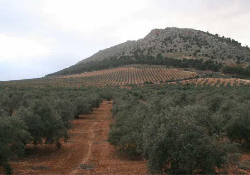 Olivares sobre suelos rojos mediterráneos penetrando en el piedemonte de las sierras calizas