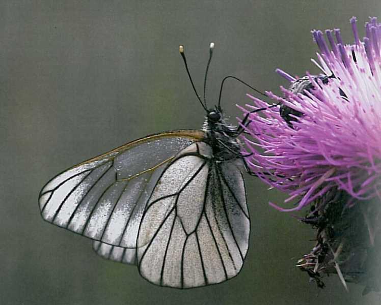 """FUENTE: """"las mariposas diurnas de Sierra Nevada"""""""