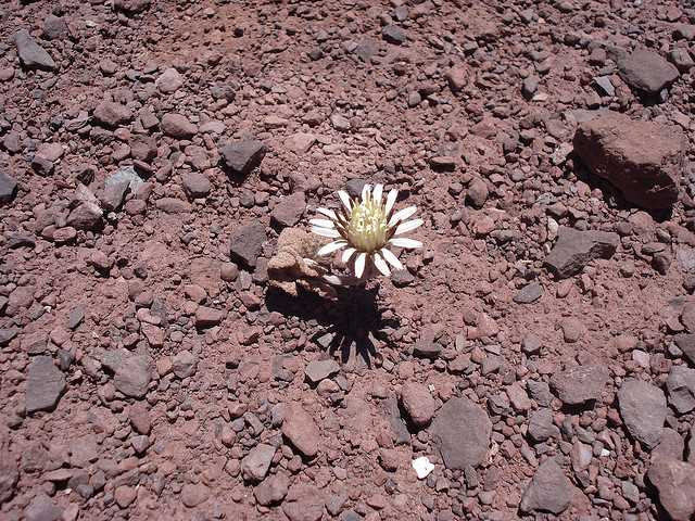 Flor en el desierto de Atacama. FUENTE: www.flickr.com