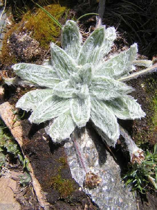 Estrella de las Nieves. Fuente: cuadernosdelsulayr.com