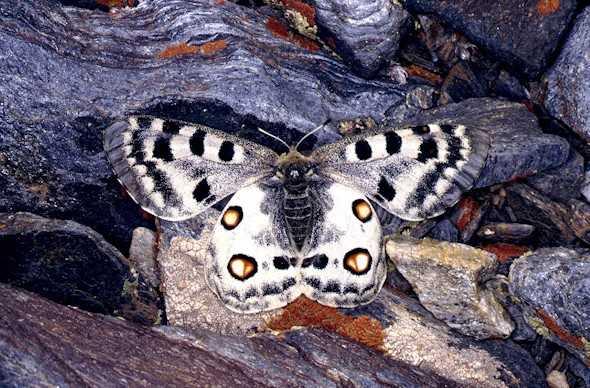 La niña de Sierra Nevada (Polyommatus golgus) mariposa endémica de Sierra Nevada en peligro de extinción, por los cambios ambientales provocados por el cambio climático. Fuente: www.elimparcial.es
