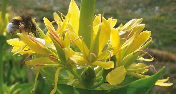 Gentiana lutea de Sierra Nevada, en primavera.Fuente: Observatorio de Cambio Global de Sierra Nevada. Metodología y seguimiento. 2012