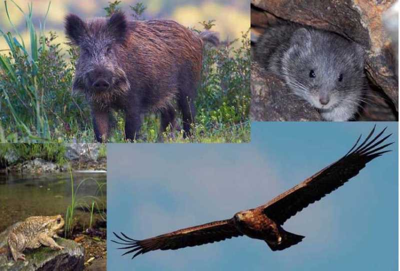 Jabalí, Topillo nival, Sapo partero bético y Águila Real, todos forman parte de la fauna común de Sierra Nevada. Fuente: Fuente: Observatorio de Cambio Global de Sierra Nevada. Metodología y seguimiento. 2012
